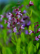 Herbal Garden - flowering sage in the garden