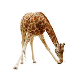 large giraffe isolated on a white background