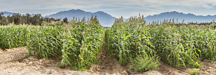 Corn plantation in desert area near Eilat, Israel