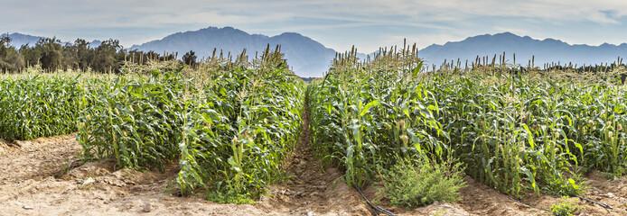 Corn plantation in desert area near Eilat, Israel