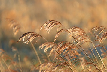Dew on reed in the sun