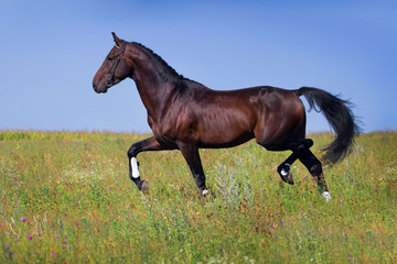 Dark horse trot on spring green field