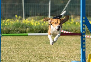 Beagle che salta un ostacolo