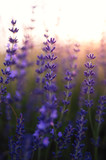 Fototapeta Beautiful detail of a lavender field
