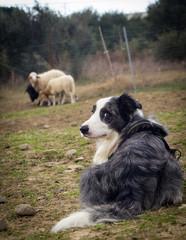 border collie con le pecore