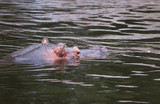 Hippo or Hippopotamus amphibius in water
