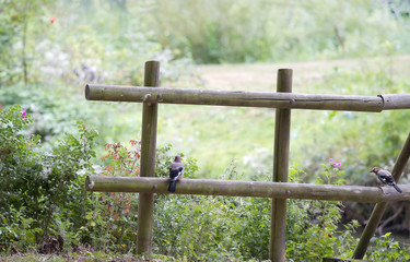 Wooden fence with Eurasian Jay or Garrulus glandarius