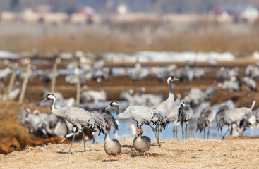 Greylag Goose and Cranes