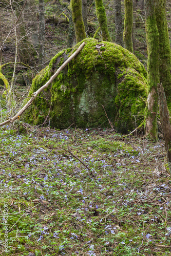 Flowering hepatica flowers