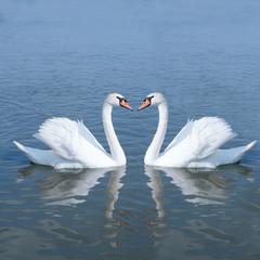 couple swan