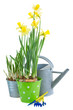 pot of daffodils with gardening tools