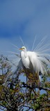 Great White Heron Nesting