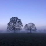 Trees in the Morning Fog