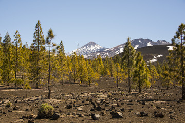 Volcano Teide and pine forest