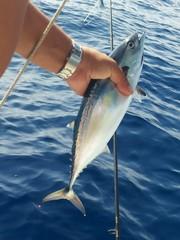 tonnetto alletterato, tonno, pesca