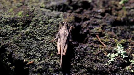 Grasshopper moving on tree trunk
