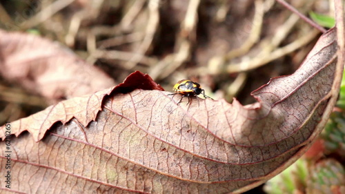 Beetle crawling on the fallen leaf