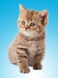 kitten on a blue background