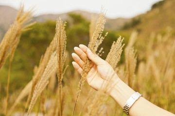 Female hand in the wheat field