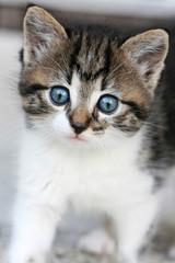 Babykatze mit blauen Augen