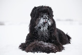 Big black Terrier lies with its snout covered with snow