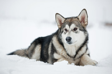 Alaskan Malamute puppy lying on the snow