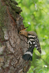A hoopoe examines its nest hole at a willow tree trunk