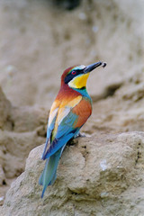 European bee-eater (Merops apiaster) with a bee prey at its beak
