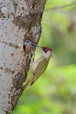 Green woodpecker (Picus viridis) male feeding chick at nest