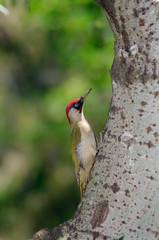 Male green woodpecker (Picus viridis) at a poplar tree trunk