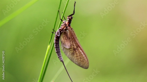 Dragonfly sticking on the grass stalk despite the wind