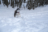 Siberian Husky into the wild