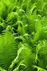 Zielone paprocie