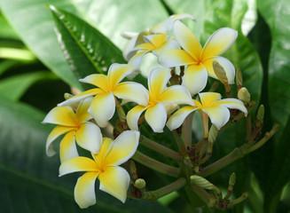 Plumeria Alba Tree Blossoms