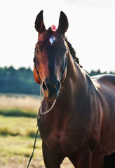 portrait of wonderful   bay  sportive  stallion