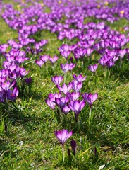 Meadow covered with purple crocuses