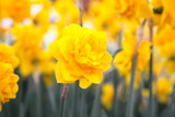 Cheerful Yellow Daffodils