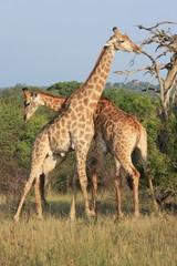 coppia di giraffe nella savana sudafrica