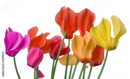 colorful cyclamen flower on a white background