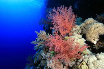 Soft coral in the tropical reef of the red sea