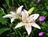 Beautiful Asiatic Lily Flowers