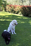 Maremma or Abruzzese patrol dog with a black labrador retrivier