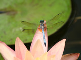 Close up of a Dragonfly on Pink Waterlily