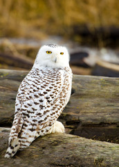 Snowy Owl, with Fall color Background