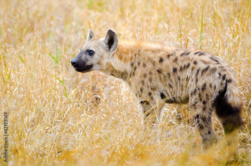 Foto op Canvas Hyena Spotted Hyena, Kruger National Park