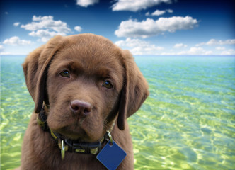 close up of a labrador retriever with ocean and blue sky