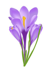Vector Illustration of Crocus Flower Isolated on White