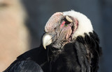 Andean Condor, covers his eyes from the bright sun