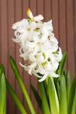 Hyacinth on wooden background