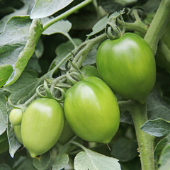 Young green tomatoes in the field